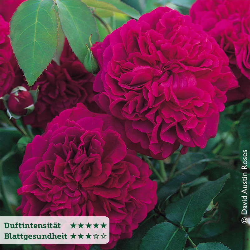 Englische Rose ´William Shakespeare´ (Ausromeo)...