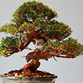 Bonsai in Topf, Zimmerbonsai