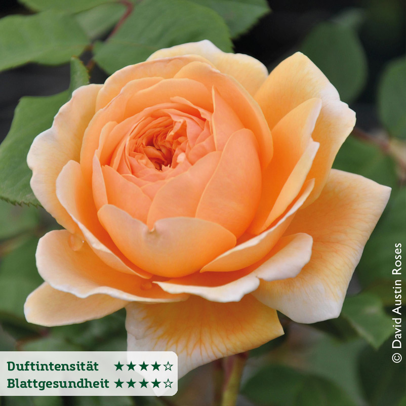 Englische Rose ´Crown Princess Margareta´ (Ausw...