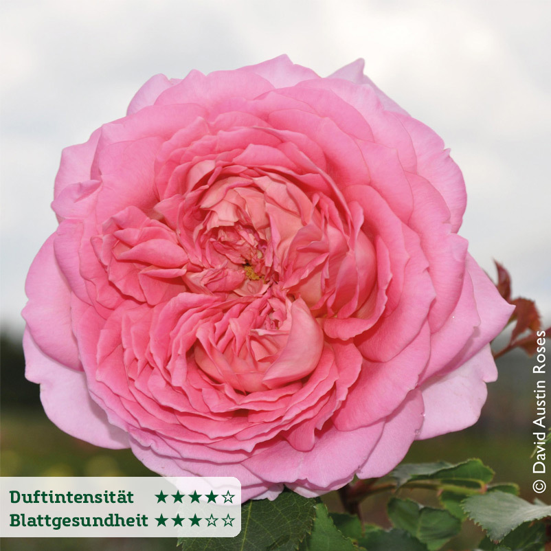 Englische Rose ´Jubilee Celebration´ (Aushunter...