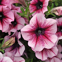 Sweetunia Burgundy Gem Petunie