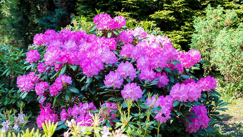 rhododendron-blog-796x450_563521162