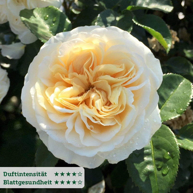 Duftende Strauchrose ´Moonlight Shadow´®